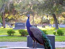 Peacock on headstone 2 (real)