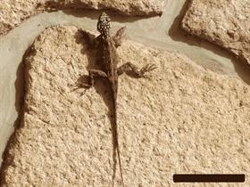 Nigerian Lizard - By Tibursio