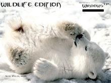 Windows xp baby polar