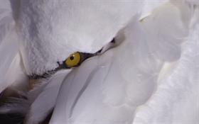 Swaneye