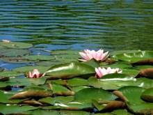 Waterroses