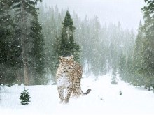 Leopards Winter